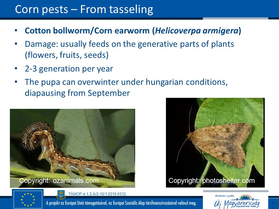 Corn pests – From tasseling