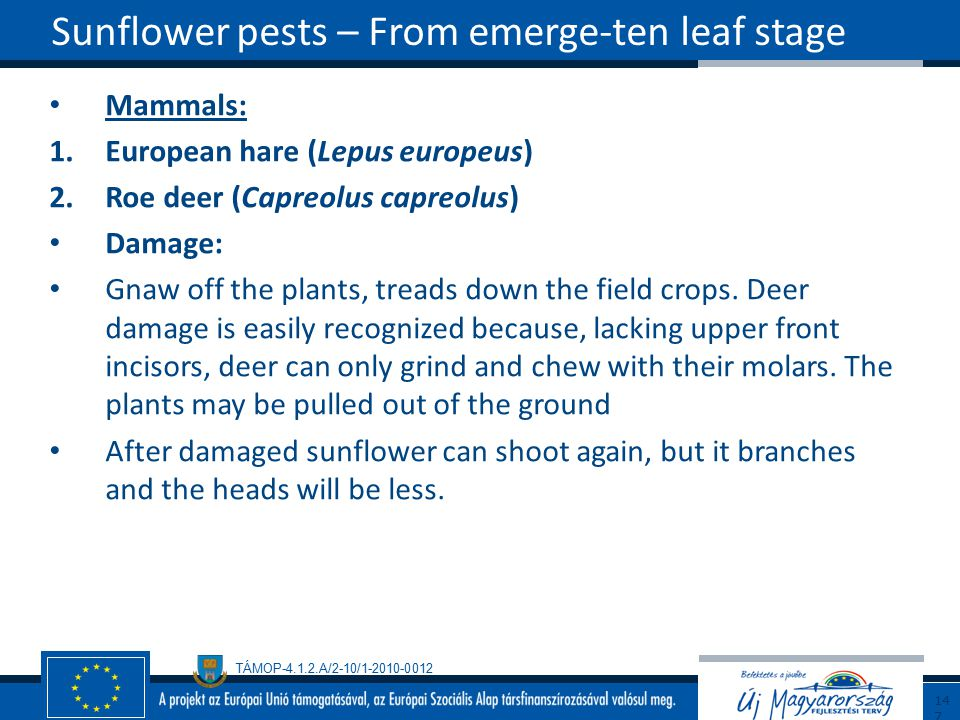 Sunflower pests – From emerge-ten leaf stage