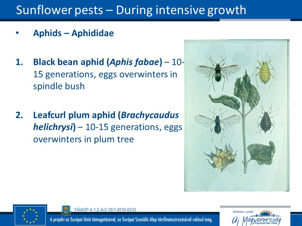 Sunflower pests – During intensive growth
