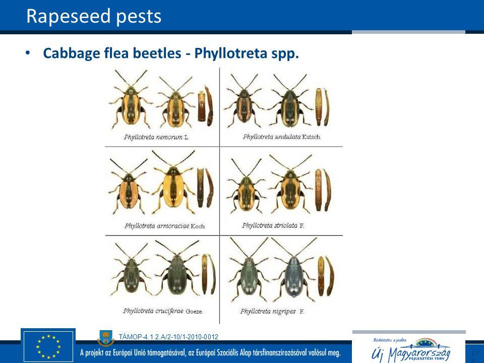 Rapeseed pests Cabbage flea beetles - Phyllotreta spp. 175175