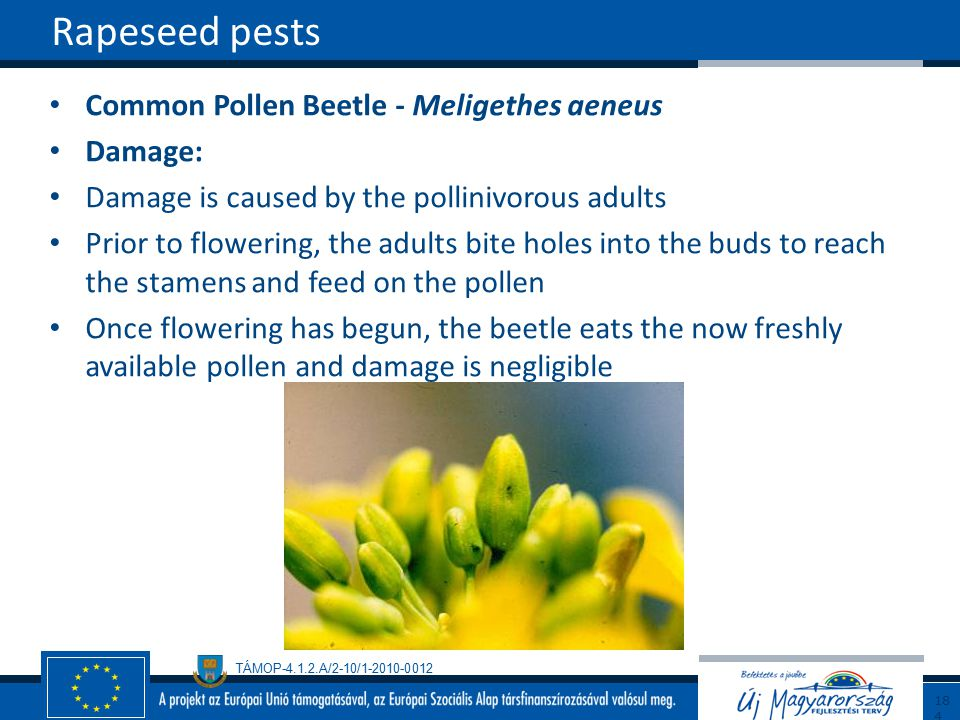 Rapeseed pests Common Pollen Beetle - Meligethes aeneus Damage: