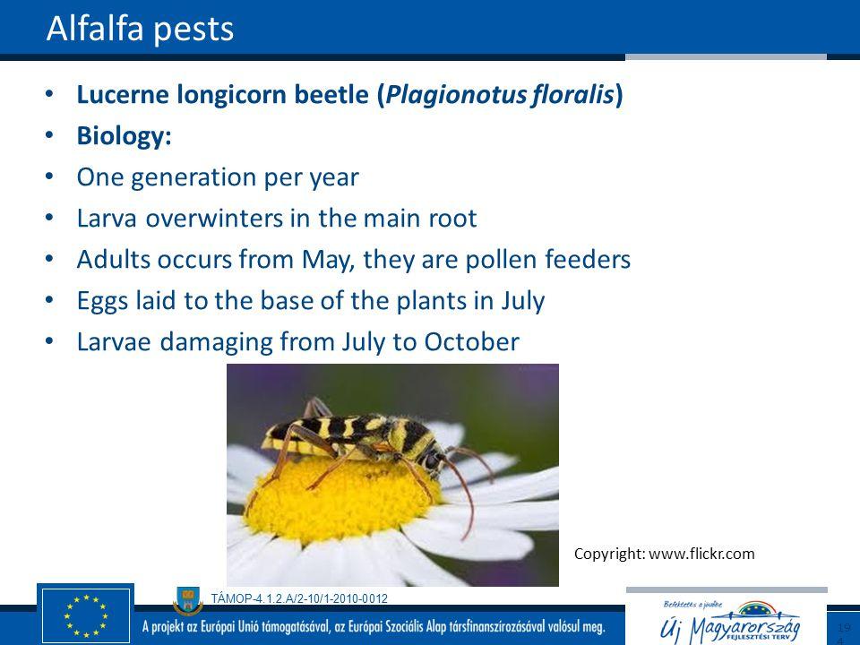 Alfalfa pests Lucerne longicorn beetle (Plagionotus floralis) Biology: