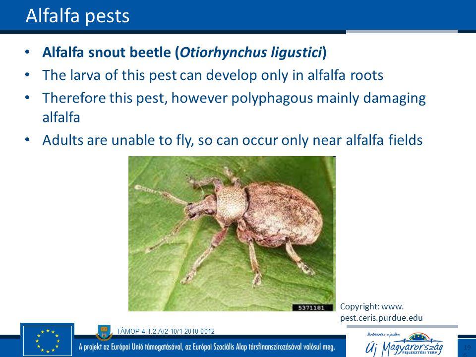 Alfalfa pests Alfalfa snout beetle (Otiorhynchus ligustici)
