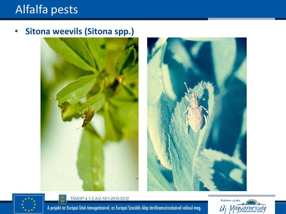Alfalfa pests Sitona weevils (Sitona spp.) 199199