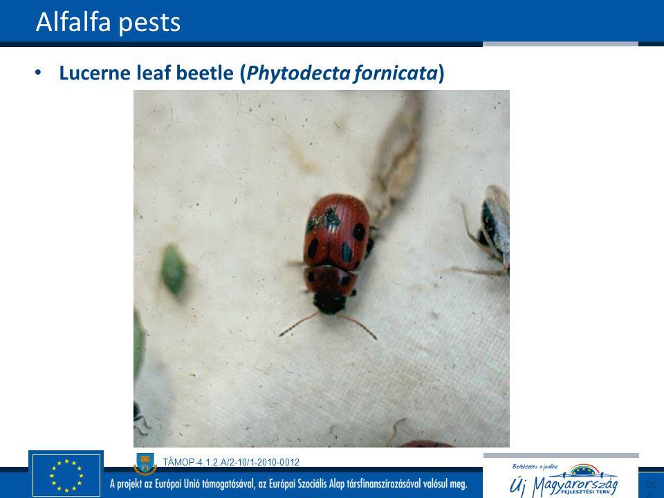 Alfalfa pests Lucerne leaf beetle (Phytodecta fornicata) 202202