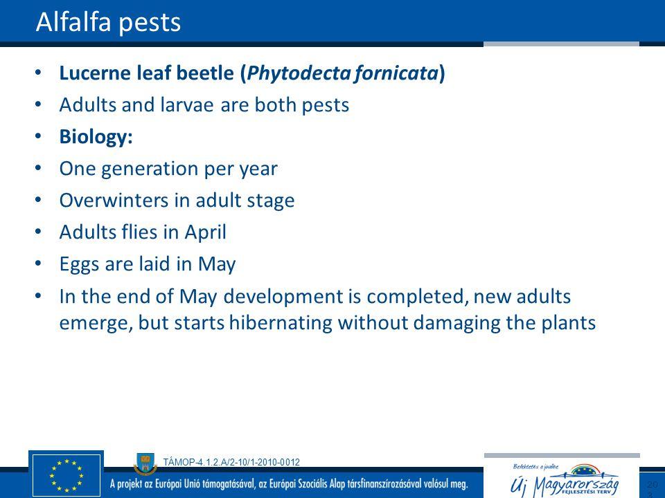 Alfalfa pests Lucerne leaf beetle (Phytodecta fornicata)
