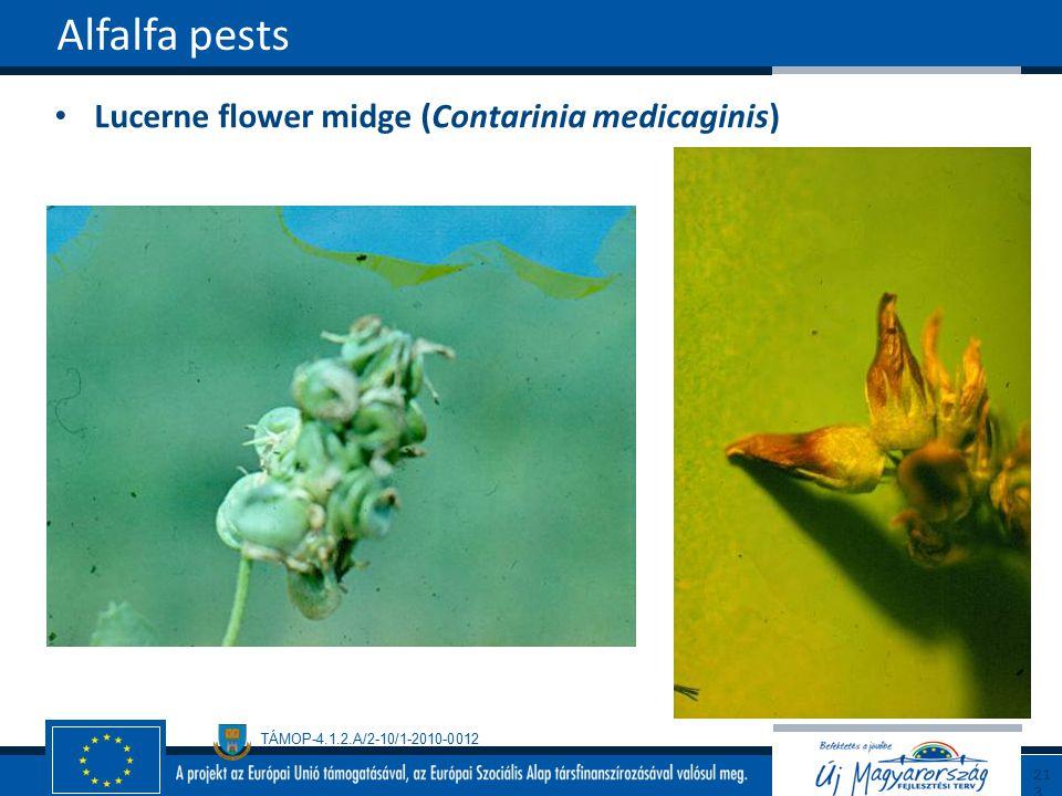 Alfalfa pests Lucerne flower midge (Contarinia medicaginis) 213213
