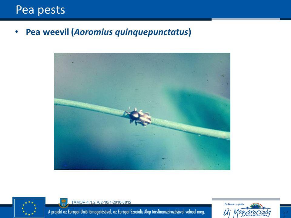 Pea pests Pea weevil (Aoromius quinquepunctatus) 234234