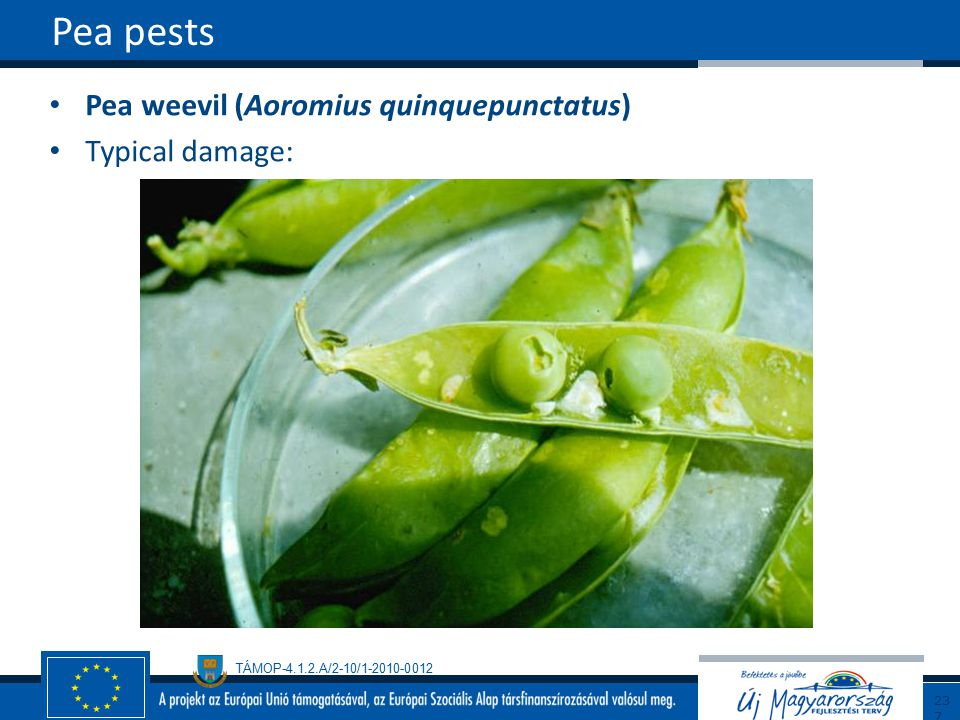 Pea pests Pea weevil (Aoromius quinquepunctatus) Typical damage: