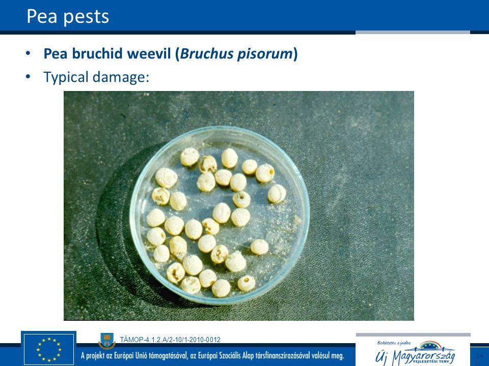 Pea pests Pea bruchid weevil (Bruchus pisorum) Typical damage: 240240