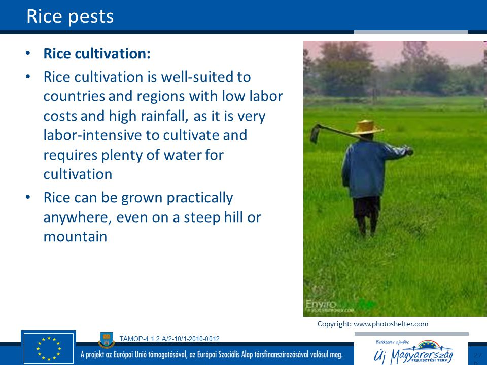 Rice pests Rice cultivation: