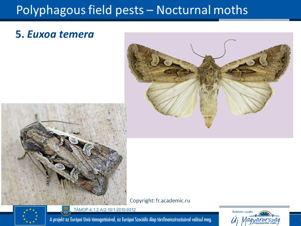 Polyphagous field pests – Nocturnal moths
