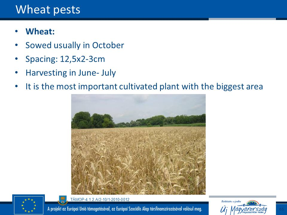 Wheat pests Wheat: Sowed usually in October Spacing: 12,5x2-3cm