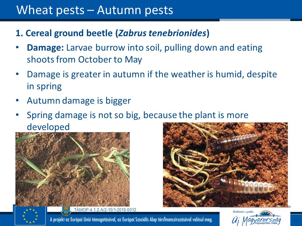 Wheat pests – Autumn pests