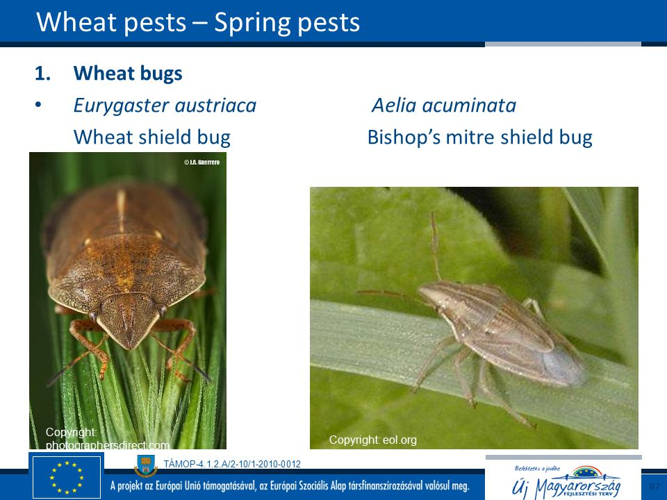 Wheat pests – Spring pests