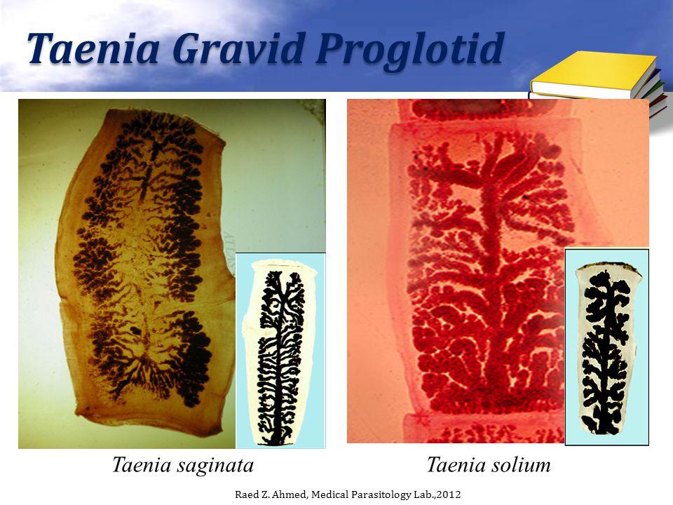 Taenia Gravid Proglotid