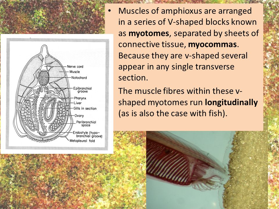 Muscles of amphioxus are arranged in a series of V-shaped blocks known as myotomes, separated by sheets of connective tissue, myocommas. Because they are v-shaped several appear in any single transverse section.