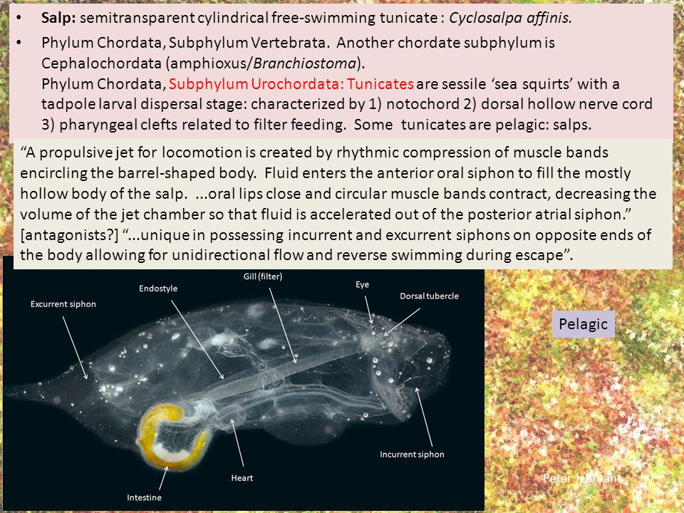 Salp: semitransparent cylindrical free-swimming tunicate : Cyclosalpa affinis.