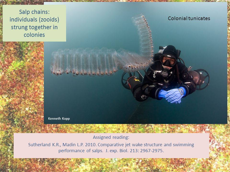 Salp chains: individuals (zooids) strung together in colonies