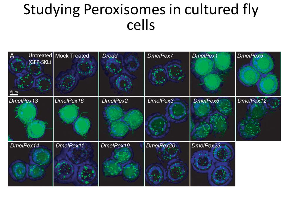 Studying Peroxisomes in cultured fly cells