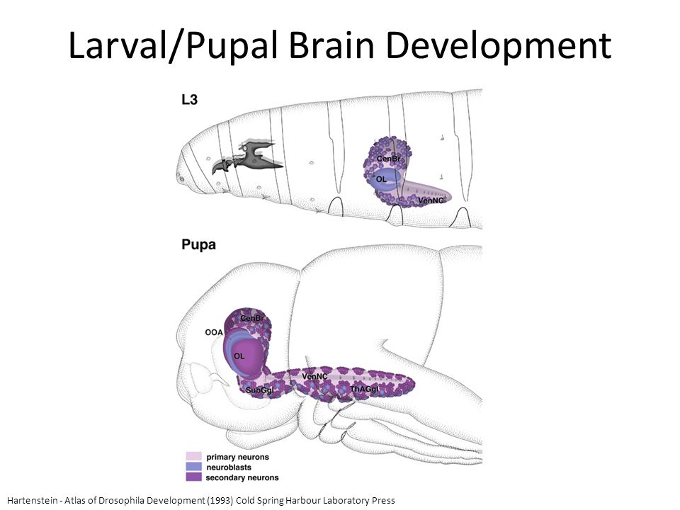 Larval/Pupal Brain Development