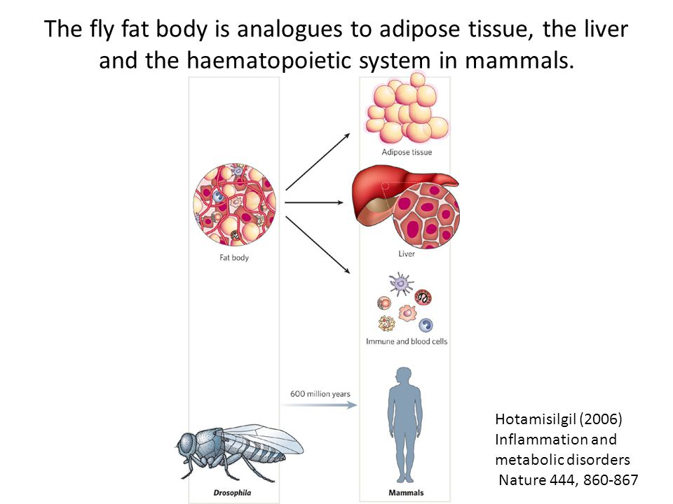 The fly fat body is analogues to adipose tissue, the liver and the haematopoietic system in mammals.