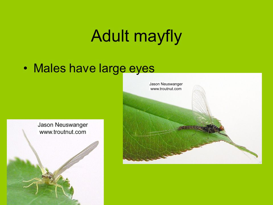Adult mayfly Males have large eyes