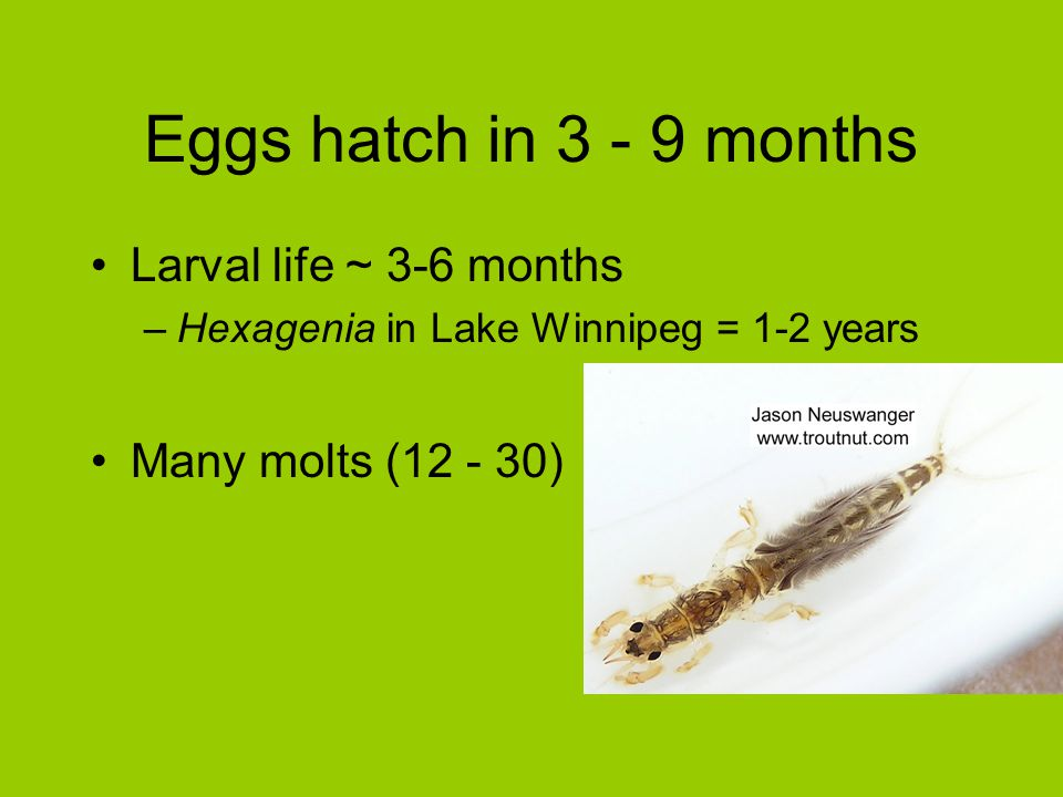 Eggs hatch in 3 - 9 months Larval life ~ 3-6 months
