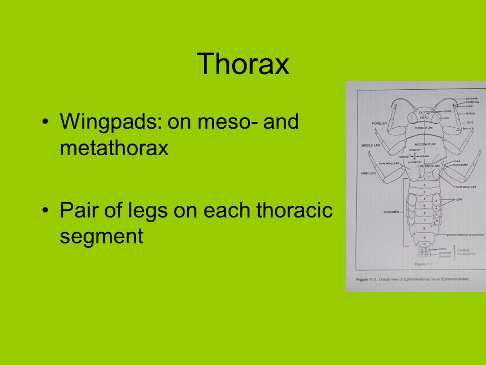 Thorax Wingpads: on meso- and metathorax