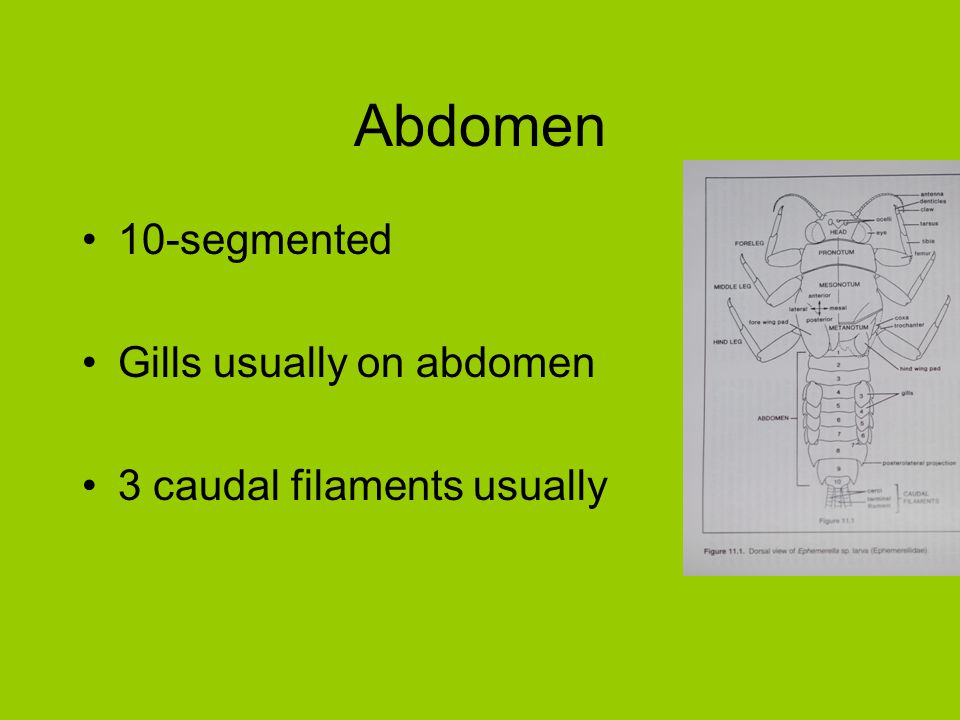Abdomen 10-segmented Gills usually on abdomen