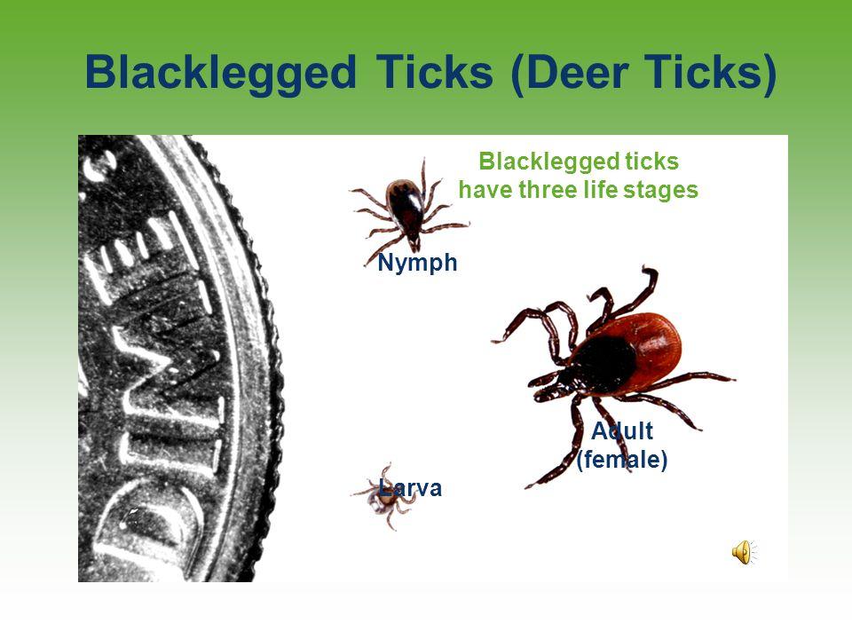 Blacklegged Ticks (Deer Ticks)