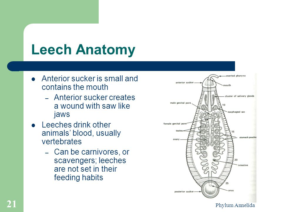 Leech Anatomy Anterior sucker is small and contains the mouth