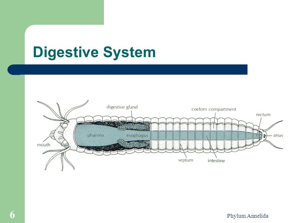 Digestive System Phylum Annelida