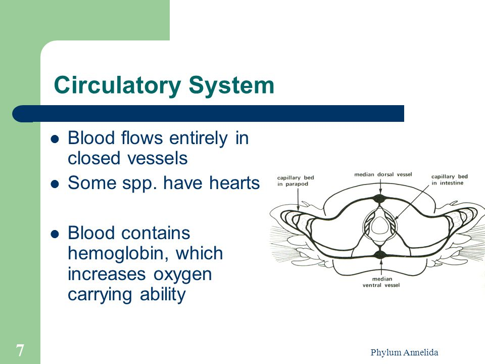 Circulatory System Blood flows entirely in closed vessels