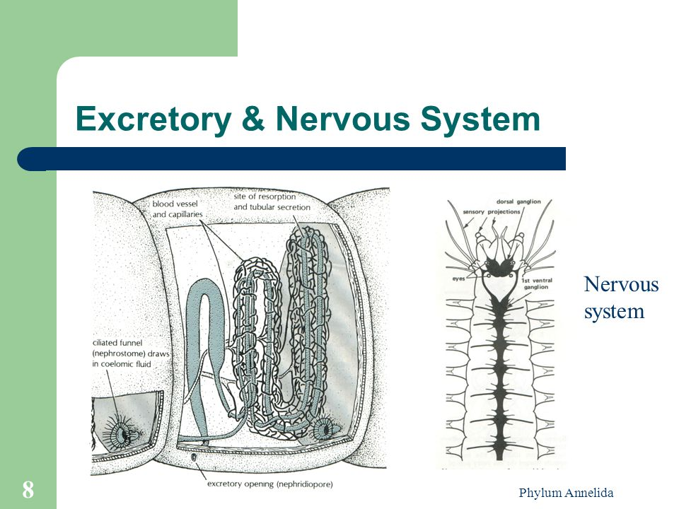 Excretory & Nervous System