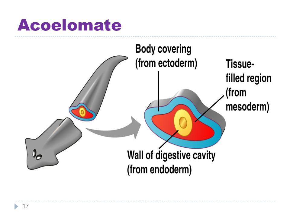 Acoelomate