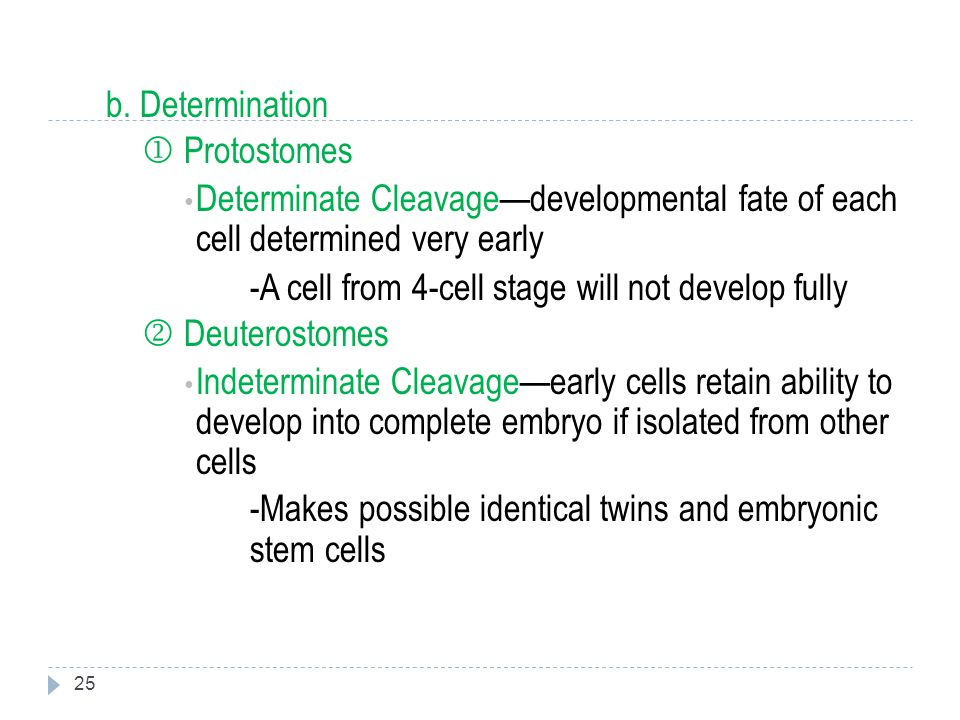b. Determination  Protostomes. Determinate Cleavage—developmental fate of each cell determined very early.