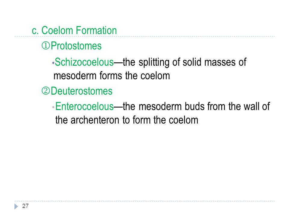 c. Coelom Formation Protostomes. Schizocoelous—the splitting of solid masses of mesoderm forms the coelom.
