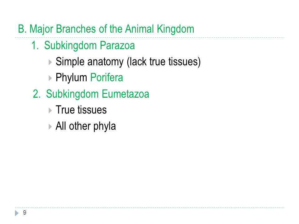 B. Major Branches of the Animal Kingdom