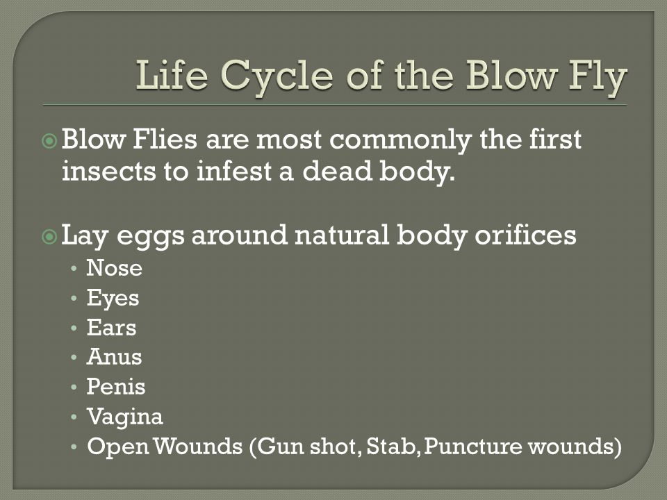 Life Cycle of the Blow Fly