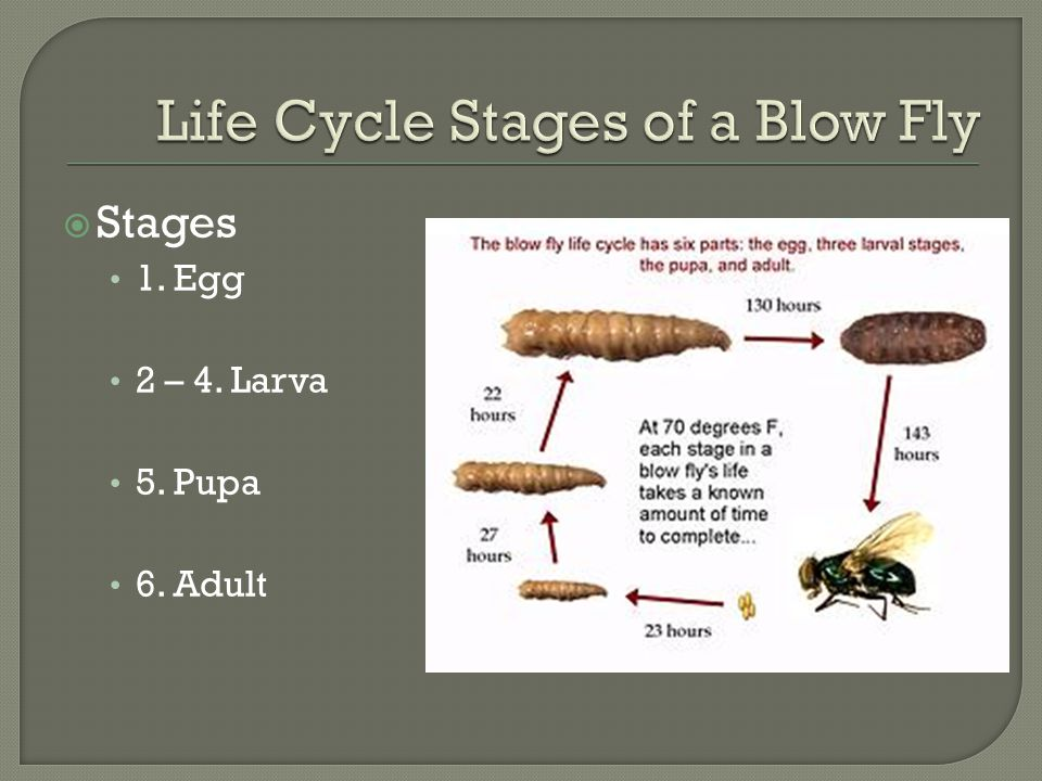 Life Cycle Stages of a Blow Fly