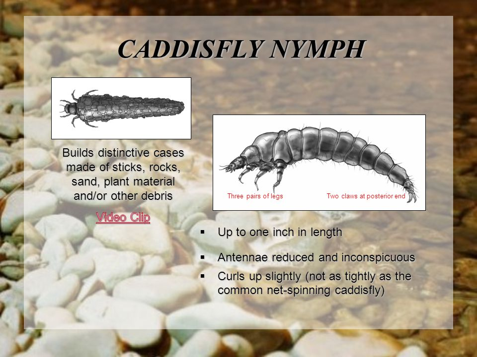 CADDISFLY NYMPH Builds distinctive cases made of sticks, rocks, sand, plant material and/or other debris.