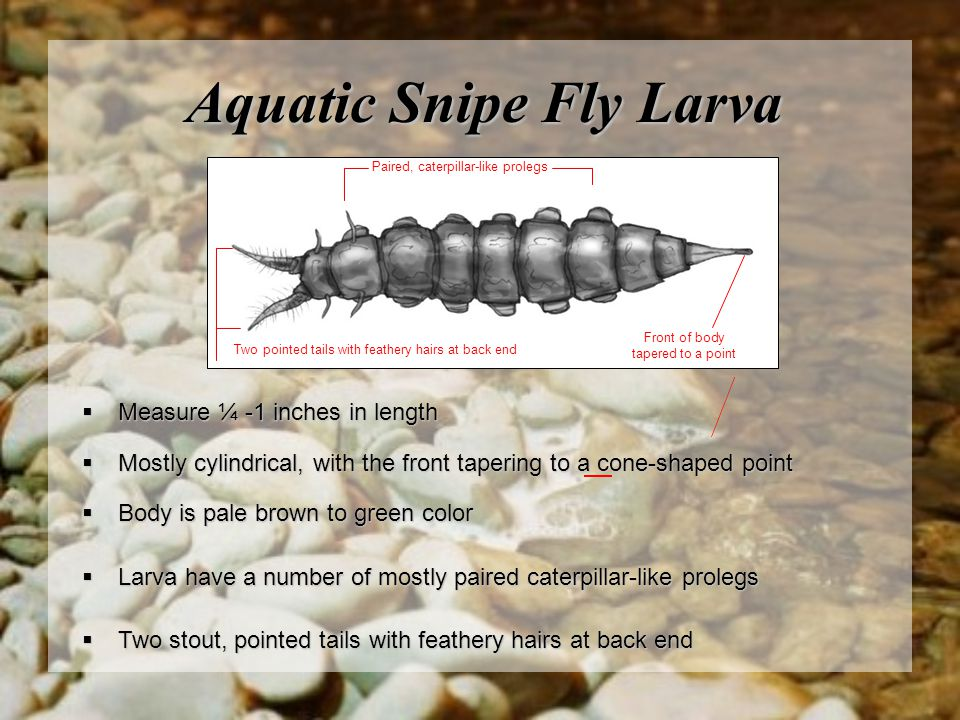 Aquatic Snipe Fly Larva