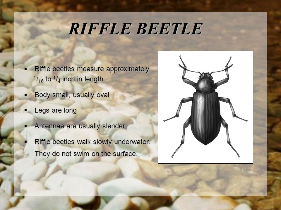RIFFLE BEETLE Riffle beetles measure approximately
