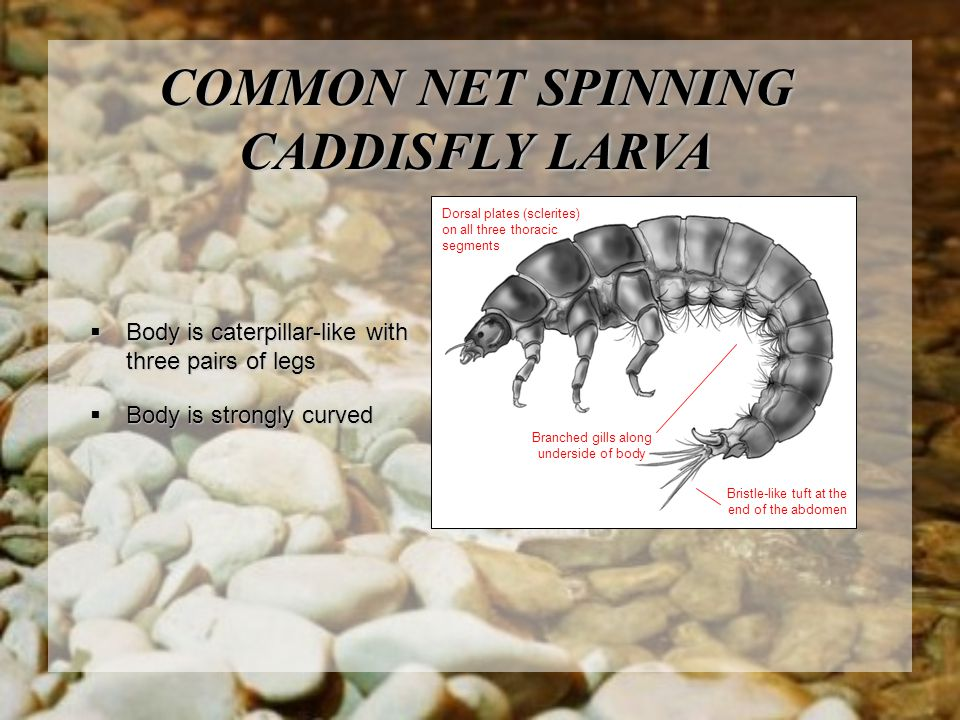 COMMON NET SPINNING CADDISFLY LARVA