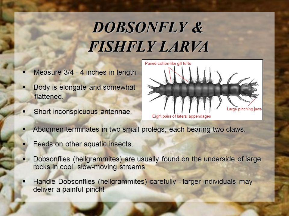 DOBSONFLY & FISHFLY LARVA