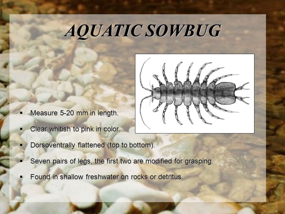 AQUATIC SOWBUG Measure 5-20 mm in length.