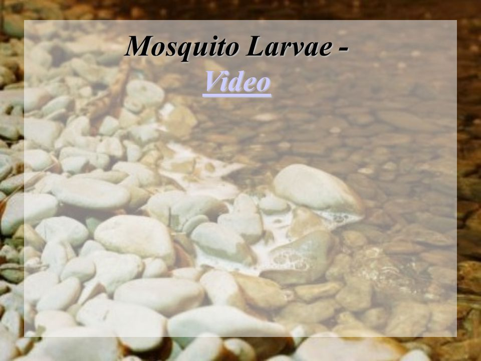 Mosquito Larvae - Video