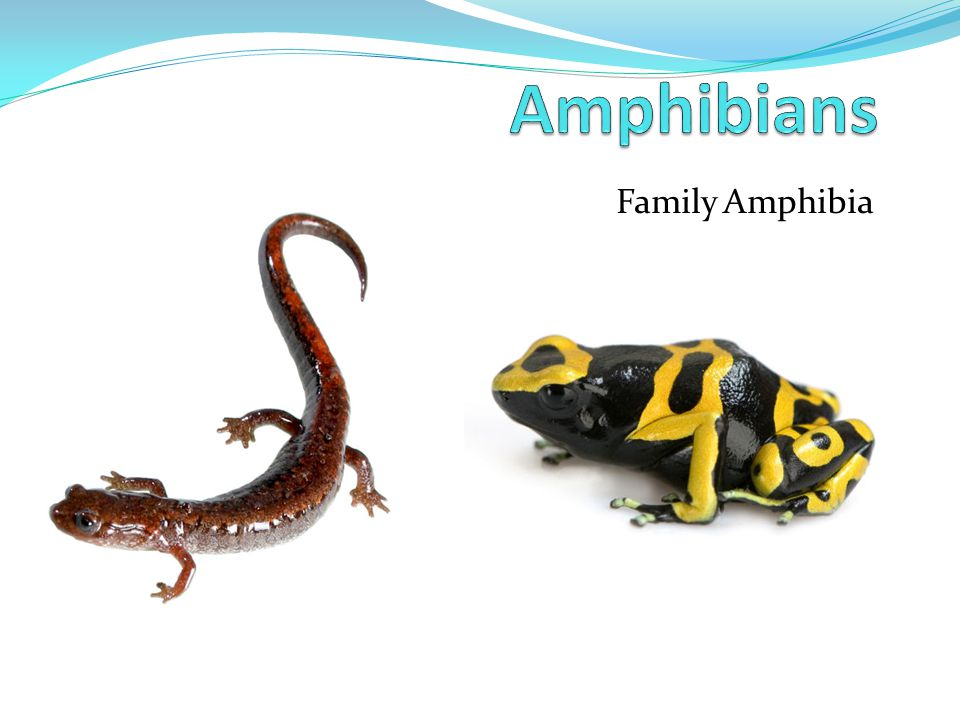 Amphibians Family Amphibia