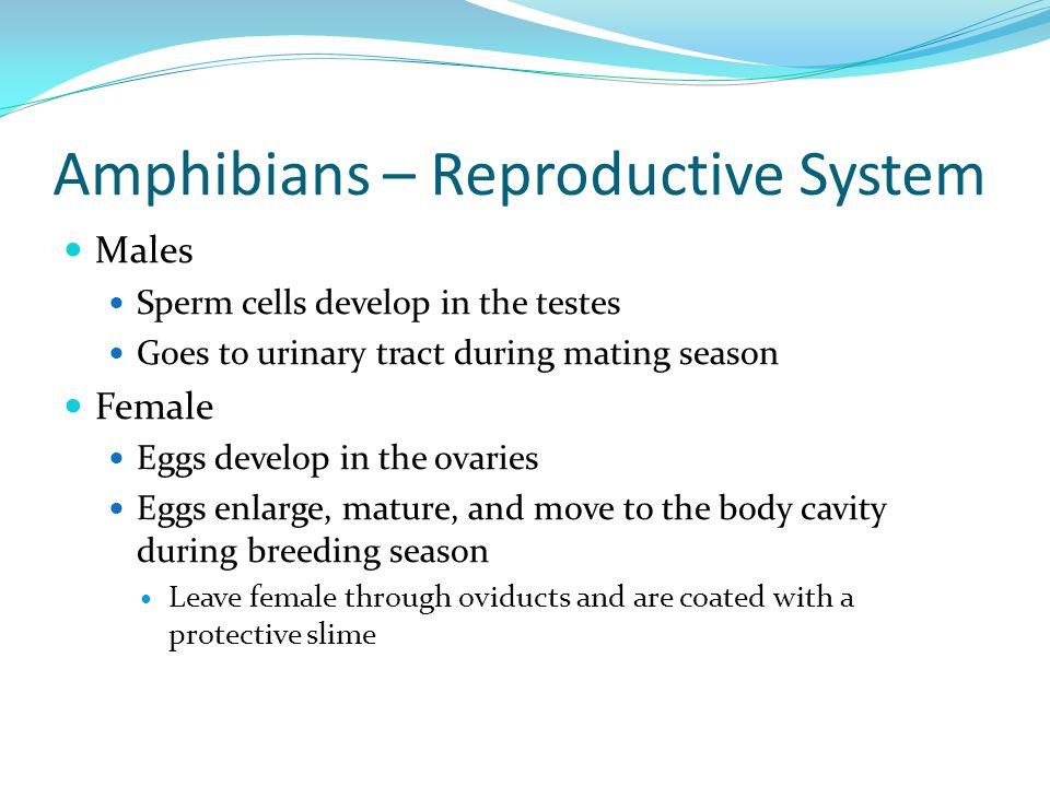 Amphibians – Reproductive System